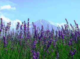 享受富士山麓吧!和初夏的富士山[河口湖香草節日]