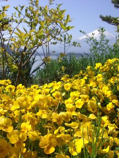 花々を見守る富士