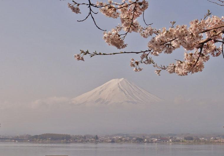 桜色に染まる冨士